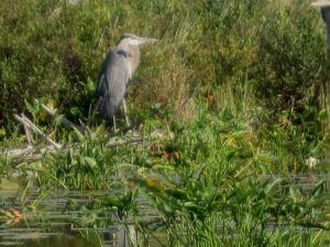 bristol heron