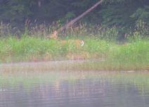 fog rez deer