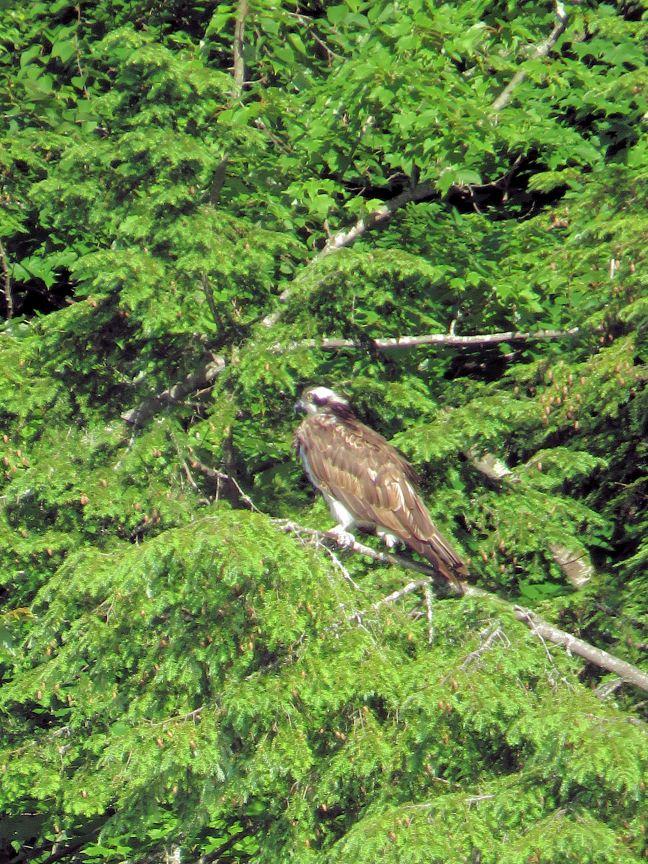 fog rez osprey 2