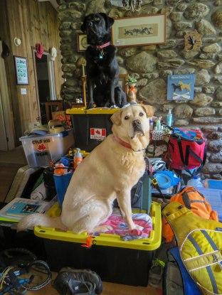 2 dogs on gear