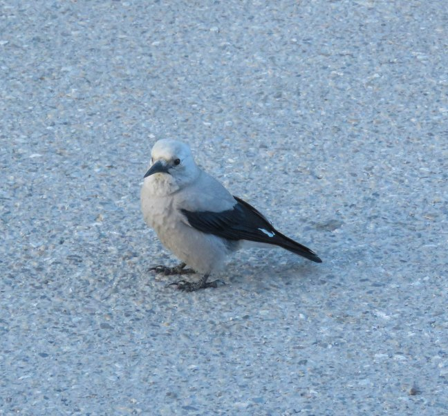ptb lake louise 18 clarks nutcracker