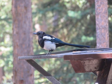ptb lake louise 58 magpie