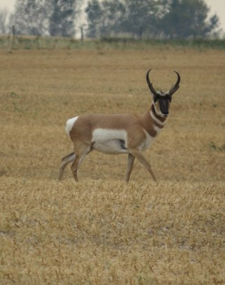 ptb banff 99 antelope