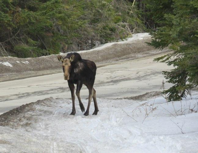 maine snowshoe trip 102 moose