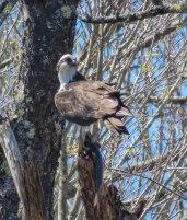 may 2018 birding 1 osprey 9