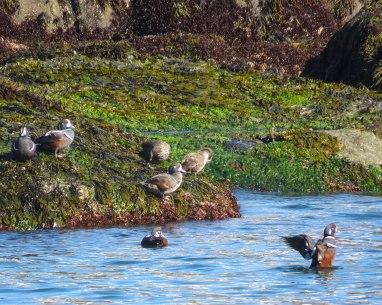 NEPS 2018 Maine 83 harlequin ducks