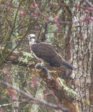 may 2019 birds 2 osprey