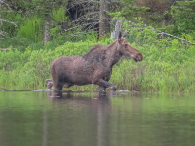 paddle34 wolcott moose 35